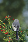 01395-01914 Northern Mockingbird (Mimus polyglottos) eating China Holly (Ilex cornuta) berry Marion Co.  IL
