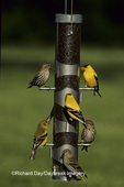 01637-00116 Pine Siskins (Carduelis pinus) & American Goldfinches (Carduelis tristis) on feeder   IL