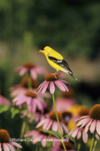 01640-04415 American Goldfinch (Carduelis tristis) male on Purple Coneflower, Marion Co. IL