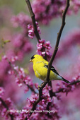01640-05417 American Goldfinch (Carduelis tristis) male in Redbud tree Marion Co. IL