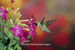 01162-08016 Ruby-throated Hummingbird (Archilochus colubris) male at Hummingbird Rose Pink Nicotiana (Nicotiana alata)  IL