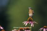 01377-06906 Eastern Bluebird (Sialia sialis) female on Purple coneflowers (Echinacea purpurea) Marion Co. IL