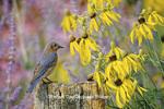01377-07120 Eastern Bluebird (Sialia sialis) female on fence post in flower garden  Marion Co. IL