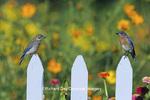 01377-08918 Eastern Bluebird (Sialia sialis) male & fledgling on picket fence near  flower garden, Marion Co.  IL