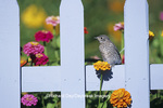 01377-09011 Eastern Bluebird (Sialia sialis) fledgling on picket fence near flower garden, Marion Co.  IL