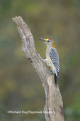 01195-00207 Golden-fronted Woodpecker (Melanerpes aurifrons) male Bentsen-Rio Grande SP   TX
