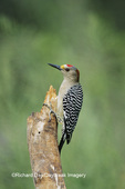 01195-00213 Golden-fronted Woodpecker (Melanerpes aurifrons) on snag Bentsen-Rio Grande State Park TX
