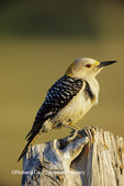 01195-00303 Golden-fronted Woodpecker (Melanerpes aurifrons) female on fence post Starr Co. TX