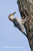 01196-00810Red-bellied Woodpecker (Melanerpes carolinus) male excavating nest cavity Marion Co   IL