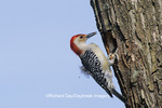 01196-00814 Red-bellied Woodpecker (Melanerpes carolinus) male excavating nest cavity Marion Co   IL