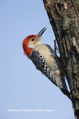 01196-01110 Red-bellied Woodpecker (Melanerpes carolinus) male excavating nest cavity Marion Co   IL