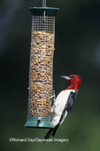 01197-02703 Red-headed Woodpecker (Melanerpes erythrocephalus) at peanut feeder Marion Co.   IL