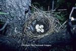 01255-00110 Western Kingbird (Tyrannus verticalis) nest with eggs   ND