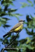 01255-00216 Western Kingbird (Tyrannus verticalis)    ND