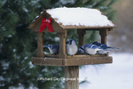 01288-01218 Blue Jays (Cyanocitta cristata) at feeder in winter Marion Co.  IL