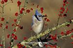 01288-04202 Blue Jay (Cyanocitta cristata) in icy Green Hawthorn (Crataegus virdis) tree Marion Co.  IL