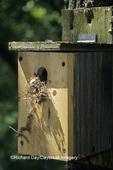 01298-02010 Tufted Titmouse (Baeolophus bicolor) predation of nest box, Marion Co.   IL