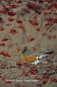 01382-01510 American Robin (Turdus migratorius) in hawthorn tree Sangamon Co.  IL