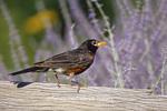 01382-03709 American Robin (Turdus migratorius) on fence near Russian Sage (Perovskia  atriplicifolia) Marion Co.  IL