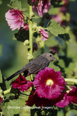 01392-01307 Gray Catbird (Dumetella carolinensis) on Hollyhock (Alcea rosea) Marion Co.  IL