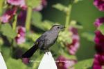 01392-01315 Gray Catbird (Dumetella carolinensis) on picket fence near Hollyhocks (Alcea rosea) Marion Co.  IL