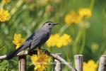 01392-01602 Gray Catbird (Dumetella carolinensis) on wooden fence near Lance-leaved Coreopsis (Coreopsis lanceolata)  Marion Co.IL