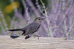 01392-01615 Gray Catbird (Dumetella carolinensis) on fence near Russian Sage (Perovskia atriplicifolia) Marion Co.  IL
