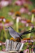 01392-02406 Gray Catbird (Dumetella carolinensis) on wooden fence near Purple Coneflowers (Echinacea purpurea) Marion Co.  IL