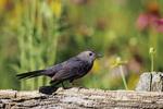 01392-02418 Catbird (Dumetella carolinensis) on wooden fence near flower garden Marion Co.  IL
