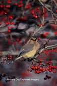 01415-00408 Cedar Waxwing (Bombycilla cedrorum) eating Winterking hawthorn berry, Marion Co.   IL