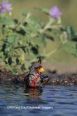 01531-00214 Pyrrhuloxia (Cardinalis sinuatus) male bathing   Starr Co. TX