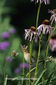 01536-01603 Indigo Bunting (Paserina cyanea) female on Pale Purple Coneflower (Echinacea pallida)  Marion Co IL