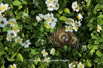 01575-00210 Song Sparrow (Melospiza melodia) nest with eggs in blackberry bush   IL