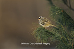01600-00606  White-crowned Sparrow (Zonotrichia leucophrys) in pine tree Marion Co.  IL