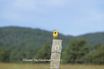 01628-00106  Western Meadowlark (Sturnella neglecta) on fence post, Custer SP, SD