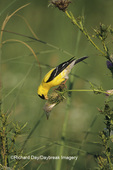 01640-05915 American Goldfinch (Carduelis tristis) male eating thistle seeds Great Smoky Mountains National Park, TN