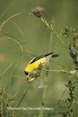 01640-06017 American Goldfinch (Carduelis tristis) male eating thistle seeds Great Smoky Mountains National Park, TN