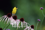 01640-14315 American Goldfinch (Carduelis tristis) male on Pale Purple Coneflower (Echinacea pallida) in flower garden, Marion Co. IL