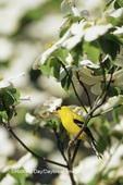 01640-15110 American Goldfinch (Carduelis tristis) male in Flowering Dogwood tree (Cornus florida) Marion Co. IL