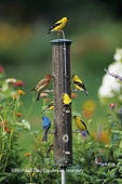 00585-01205 House Finch, American Goldfinches and Indigo Bunting on thistle feeder, Marion Co. IL