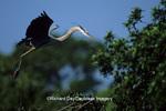 00684-02704 Great Blue Heron (Ardea herodias) in flight carrying branch to nest   FL