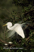 Great Egret (Ardea alba) in breeding plumage    FL