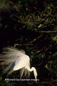 00688-00915 Great Egret (Ardea alba) in breeding plumage    FL