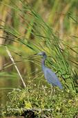 00689-00301 Little Blue Heron (Egretta caerulea) Everglades NP   FL