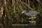 00689-00305 Little Blue Heron (Egretta caerulea) J.N. Ding Darling NWR   FL