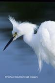 00696-00616 Snowy Egret (Egretta thula) in breeding plumage J.N. Ding Darling NWR FL