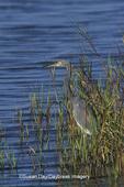 00697-00509 Tricolored Heron (Egretta tricolor) So. Padre Island   TX