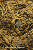 00697-00607 Tricolored Heron (Egretta tricolor) So. Padre Island   TX