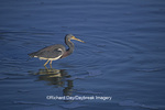 00697-00615 Tricolored Heron (Egretta tricolor) Laguna Atascosa NWR   TX