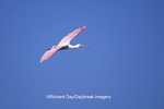 00707-00720 Roseate Spoonbill (Ajaia ajaja) in flight J.N. Ding Darling NWR   FL
